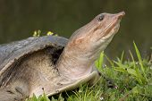 Florida Softshell Turtle 2