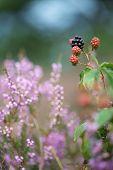 bramble berries and heath in nature
