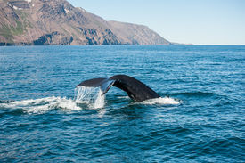 picture of whale-tail  - Tail fin of the mighty humpback whale  - JPG