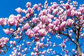 pic of magnolia  - blooming magnolia tree branches against the sky - JPG