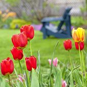 Colorful tulips and blue Adirondack chairs in the background of a spring garden.