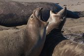Elephant Seals on Sand