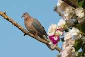 Laughing Dove (stretopelia Senegalensis) On A Branch
