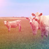 curious cows stands in the pasture with instagram effect
