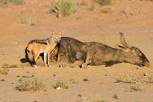 pic of jackal  - Hungry Black backed jackal eating on a hollow carcass in the dry desert - JPG
