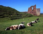 Castle ruins and sheep, Tutbury, UK.