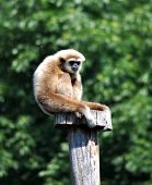 monkey on a wooden stake, gibbon