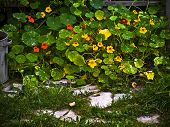 stock photo of nasturtium  - Nasturtium  - JPG