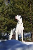 Harlequin great dane in the forest