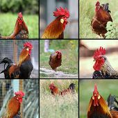Images Of Roosters