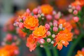 picture of lantana  - Lantana flowers - JPG