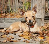 a chihuahua in a pile of leaves during fall weather