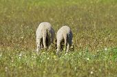 Two Funny Lambs Tail On The Meadow