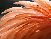 Feathers of a Greater Flamingo as background 02