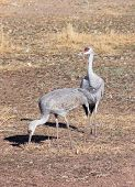 A Pair Of Sandhill Cranes In A Field