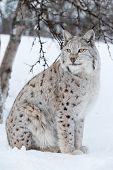 Proud lynx sitting under a tree