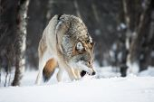 Wolf eating meat in the snow