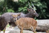 stock photo of antelope  - Nayala African Horned Antelope Male and Female Pair - JPG