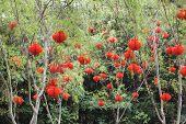 Chinese Red Lanterns Hanging On Trees