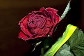 rose dry
