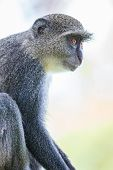 image of darwin  - A Blue Monkey in the lush jungles of Zanzibar Tanzania - JPG