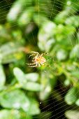 Spider On Cobweb Over Buxus Leaves