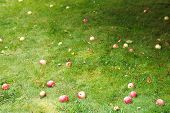 Red Ripe Apples Lie On Green Lawn