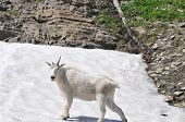 White Goat on the Snow