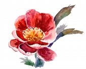 watercolor peony - isolated on white background