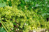 Row Of Green Grape