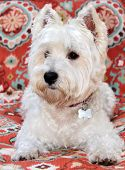 A beautiful pure breed female West Highland Terrier poses on a red pattern background. Commonly know