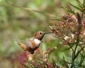 Rufous Humminbird On Grevillea