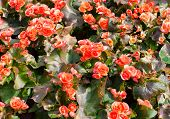 Red Big Begonias