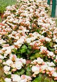 Begonia White Flowers