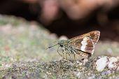 Halpe Zola Butterfly