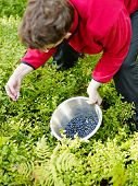 Woman Pick Up Blueberries