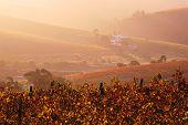 Sunset haze, autumn vineyard
