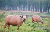 foto of female buffalo  - Two water buffaloes at dawn at a field in Chonburi Thailand - JPG