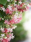Drunen Sailor Or Rangoon Creeper Flower.