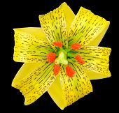 Yellow Asiatic Lily With Black Spots Isolated On Black