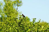 Red Winged Blackbird Singing In Green Bushes