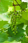 Unripe Bunch Of Grapes In A Summer