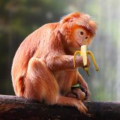 The Javan lutung or Javan langur (Trachypithecus auratus) eating ripe banana.