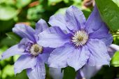 two  flowers of purple clematis. closeup
