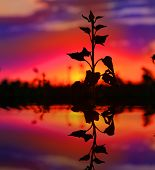 plant on sunset background with water reflection