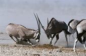 Namibia, Etosha Pan, Gemsbok fighting
