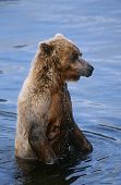 USA, Alaska, Katmai National Park, Brown Bear in water