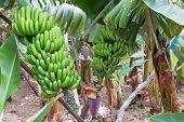 Banana Plantation At Madeira Island