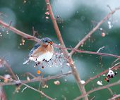Eastern Bluebird In Light Snowstorm
