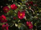 Flower of red camellia with green shining leaves